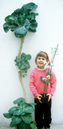 Photo of cabbage plants