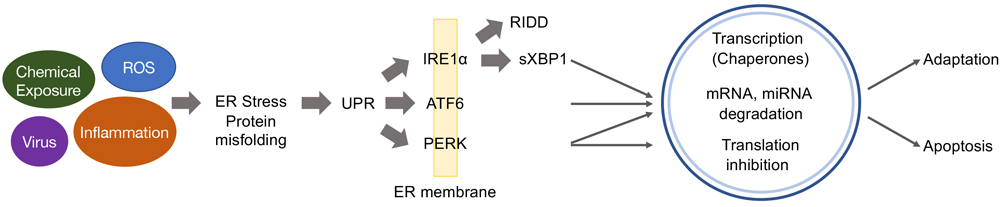 Cartoon of The Unfolded Protein Response (UPR)