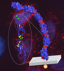 Model highlights the EC5-6 protein junction where the human allele dichotomy occurs