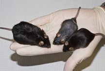 Photo of obese control mice and lean SCD1-deficient mice