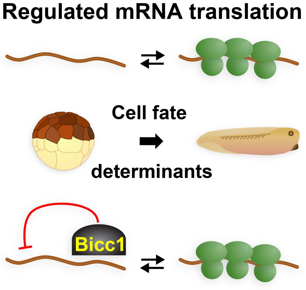 Cartoon of Regulated mRNA translation