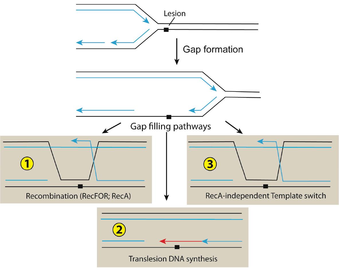 Image of DNA repair pathways