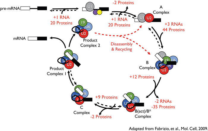 A model for spliceosome assembly and catalysis.