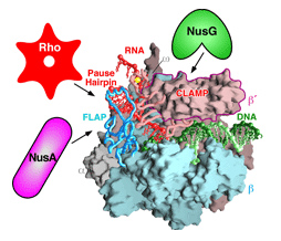 A paused transcription complex and regulatory inputs for bacterial RNAP